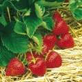 Strawberry 'Hapil'* - Pack of 12 (Mid Summer)